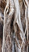 Trunk And Roots Of Old Ficus (background)