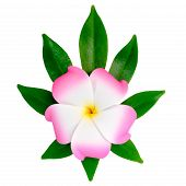 Closeup Of Exotic Pink Frangipani (plumeria), Flower On The Shefler Leaf Is Isolated On White Backgr