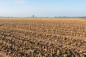 Maize Stubbles In The Clay Ground