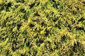 Hemlock-Blätter