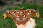 Female Attacus Atlas Moth On Hand