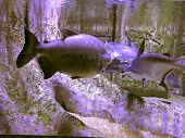 Freshwater Fish Under Water On A Background Of Flooded Roots Of Trees
