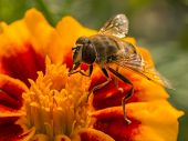 picture of wasp sting  - Wasp resting on a bright and colorful flower - JPG
