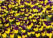 Viola Tricolor Pansy  Flower Bed Bloom