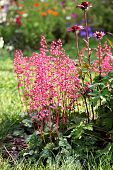 Heuchera (alumroot)