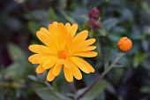 Calendula Officinalis In Garden