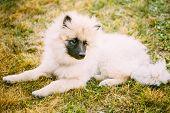 Gray Keeshound, Keeshond, Keeshonden Dog (german Spitz) Wolfspitz