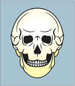 human skull, front