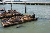 Sea lions on the piers