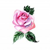 Watercolor flowers pink rose - vector illustration