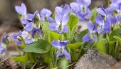 picture of villi  - beautiful fresh spring flowers primroses in bloom - JPG