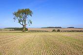 Farmland Ash Tree