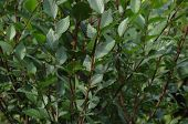 foto of elm  - Green leaves of clipped young elm hedgerow - JPG