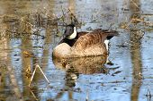 stock photo of winnebago  - Canada Goose  - JPG