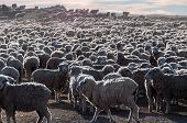That Is A Lot Of Sheeps, Tierra Del Fuego, Argentina