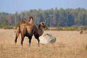 Camel On Meadow In
