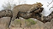 Resting Leopard on A Tree