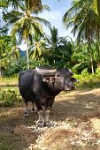 Buffalo, Jungle, Palm Tree