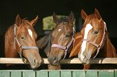 Nice thoroughbred foals in the stable door