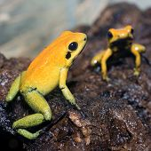 Black-legged poison frog
