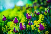 stock photo of lillies  - Amazing lillies creamy bokeh Green Park wonderful colours