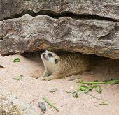 image of meerkats  - meerkat is looking something in the zoo - JPG