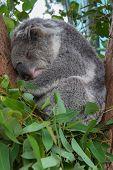 A Sleeping Koala Sitting In A Tree
