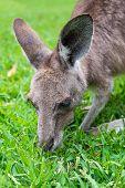 Close Up Of A Grey Kangaroo