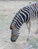 zebra find grass