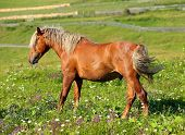 brown horse with a white mane on meadow