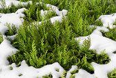 Snowy thuja hedge