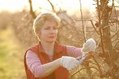 picture of orchard  - Mid adult female pruning tree in orchard selective focus on face - JPG