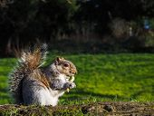 Squirrel Eating On A Treat In A Park In Sunlight With Green Grass