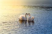picture of two hearts  - A picture of two swans forming a heart during sundown - JPG