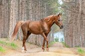 Beautiful red horse Arabian breed walking on the road in the forest on the background of large pines