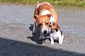 image of jack russell terrier  - Puppie Jack Russell terrier is playing with mom - JPG