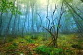 picture of morning  - Mysterious forest with fog in spring  - JPG