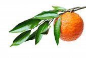 Rama naranja