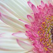 Pink Gerbera Petal