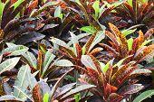 picture of crotons  - Codiaeum variegatum close up shot in nature - JPG