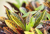 stock photo of crotons  - Codiaeum variegatum close up shot in nature - JPG