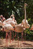 Group Of Pink Flamingos.