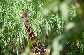 Giraffe in the green brushwood