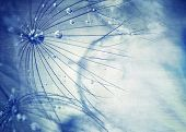 picture of dandelion  - Beautiful blue dandelion background - JPG