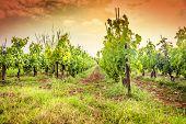 Croatia - vineyard on Istria peninsula. Agriculture on red soil.