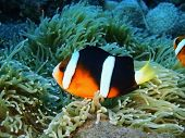 image of clown fish  - The surprising underwater world of the Bali basin - JPG