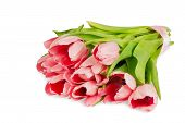 Several Pink Tulips With Satin Ribbon Isolated