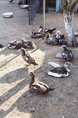 Flock Of Domestic Ducks On Poultry Yard