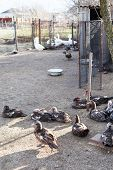 Ducks And Gooses In Village Poultry-yard
