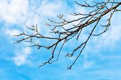 Bare Quince Tree Twig With Blue Sky Background